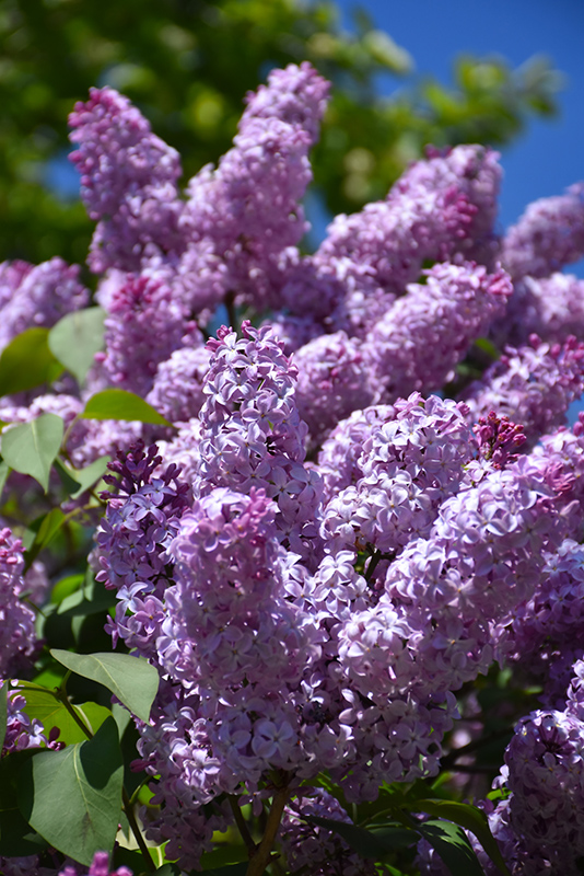 Common Lilac (Syringa vulgaris) at Studley's