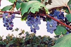 Concord Grape (Vitis 'Concord') at Studley's