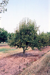 Bartlett Pear (Pyrus communis 'Bartlett') at Studley's