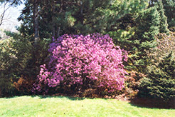 Korean Rhododendron (Rhododendron mucronulatum) at Studley's