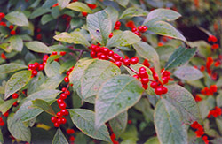 Jolly Red Winterberry (Ilex verticillata 'Jolly Red') at Studley's