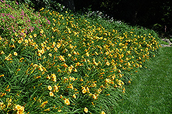 Happy Ever Appster® Happy Returns Daylily (Hemerocallis 'Happy Returns') at Studley's