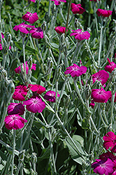 Rose Campion (Lychnis coronaria) at Studley's