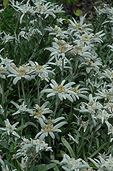 Alpine Edelweiss (Leontopodium alpinum) at Studley's