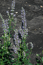 Anise Hyssop (Agastache foeniculum) at Studley's