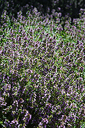 Lemon Thyme (Thymus x citriodorus) at Studley's