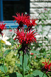Jacob Cline Beebalm (Monarda 'Jacob Cline') at Studley's