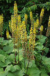 The Rocket Rayflower (Ligularia 'The Rocket') at Studley's