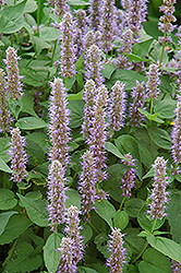 Blue Fortune Anise Hyssop (Agastache 'Blue Fortune') at Studley's