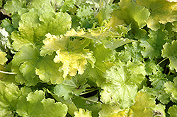 Lime Rickey Coral Bells (Heuchera 'Lime Rickey') at Studley's