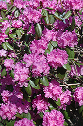P.J.M. Rhododendron (Rhododendron 'P.J.M.') at Studley's