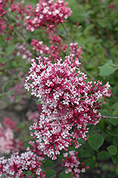 Tinkerbelle Lilac (Syringa 'Tinkerbelle') at Studley's