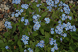 Forget-Me-Not (Myosotis sylvatica) at Studley's