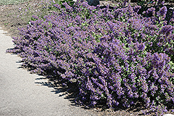 Walker's Low Catmint (Nepeta x faassenii 'Walker's Low') at Studley's