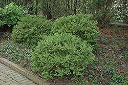 Wintergreen Boxwood (Buxus microphylla 'Wintergreen') at Studley's