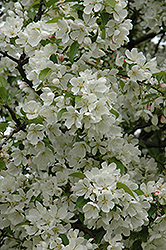 Donald Wyman Flowering Crab (Malus 'Donald Wyman') at Studley's