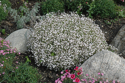 Creeping Baby's Breath (Gypsophila repens) at Studley's
