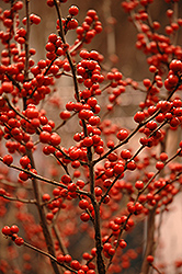 Berry Heavy® Winterberry (Ilex verticillata 'Spravy') at Studley's