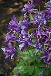 Biedermeier Blue Columbine (Aquilegia 'Biedermeier Blue') at Studley's