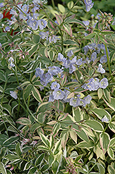 Touch Of Class Jacob's Ladder (Polemonium reptans 'Touch Of Class') at Studley's