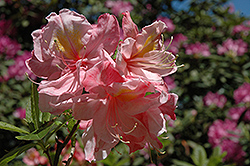 Cecile Azalea (Rhododendron 'Cecile') at Studley's