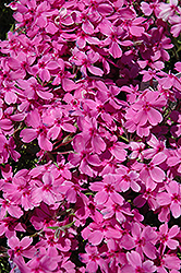 Red Wings Moss Phlox (Phlox subulata 'Red Wings') at Studley's