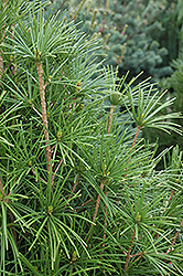 Wintergreen Umbrella Pine (Sciadopitys verticillata 'Wintergreen') at Studley's