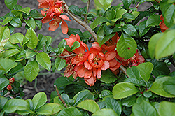 Orange Beauty Flowering Quince (Chaenomeles japonica 'Orange Beauty') at Studley's