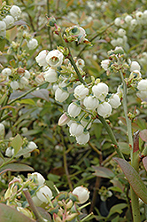 Earliblue Blueberry (Vaccinium corymbosum 'Earliblue') at Studley's