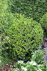Winter Gem Boxwood (Buxus microphylla 'Winter Gem') at Studley's