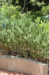 Spice Islands Rosemary (Rosmarinus officinalis 'Spice Islands') at Studley's