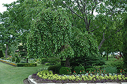 Weeping Mulberry (Morus alba 'Pendula') at Studley's