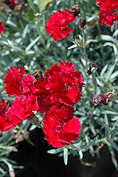 Fire Star Pinks (Dianthus 'Devon Xera') at Studley's