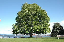 Horse Chestnut (Aesculus hippocastanum) at Studley's