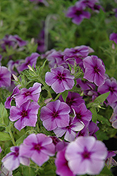 Intensia Blueberry Annual Phlox (Phlox 'Intensia Blueberry') at Studley's