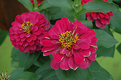 Magellan Cherry Zinnia (Zinnia 'Magellan Cherry') at Studley's