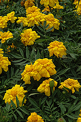 Durango Yellow Marigold (Tagetes patula 'Durango Yellow') at Studley's