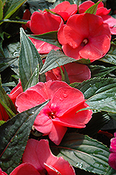 Magnum Hot Pink New Guinea Impatiens (Impatiens 'Magnum Hot Pink') at Studley's