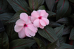 Magnum White Blush New Guinea Impatiens (Impatiens 'Magnum White Blush') at Studley's