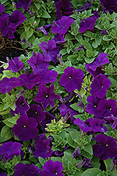 Pretty Flora Midnight Petunia (Petunia 'Pretty Flora Midnight') at Studley's