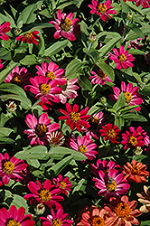 Profusion Cherry Zinnia (Zinnia 'Profusion Cherry') at Studley's