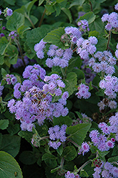 Everest Blue Flossflower (Ageratum 'Everest Blue') at Studley's