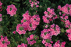 Quartz XP Pink Verbena (Verbena 'Quartz XP Pink') at Studley's