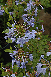 Imperial Blue Plumbago (Plumbago auriculata 'Imperial Blue') at Studley's