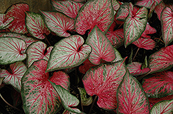 Carolyn Whorton Caladium (Caladium 'Carolyn Whorton') at Studley's