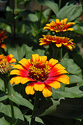 Zowie Yellow Flame Zinnia (Zinnia 'Zowie Yellow Flame') at Studley's