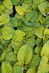 Wizard Pineapple Coleus (Solenostemon scutellarioides 'Wizard Pineapple') at Studley's