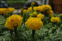 Safari Yellow Marigold (Tagetes patula 'Safari Yellow') at Studley's