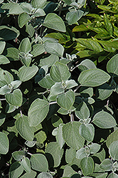 Silver Shield Plectranthus (Plectranthus 'Silver Shield') at Studley's