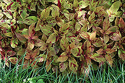 Premium Sun Mighty Mosaic Coleus (Solenostemon scutellarioides 'Mighty Mosaic') at Studley's